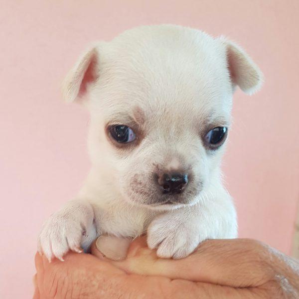 I Nostri Chihuahua